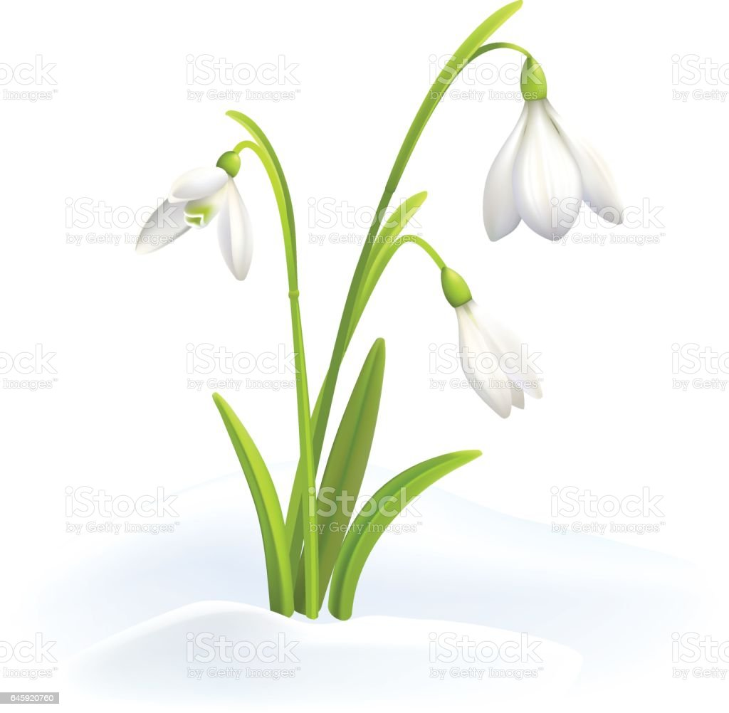 Snowdrops or Galanthus nivalis in snow on a white background. Spring vector illustration. Vector background with flower.