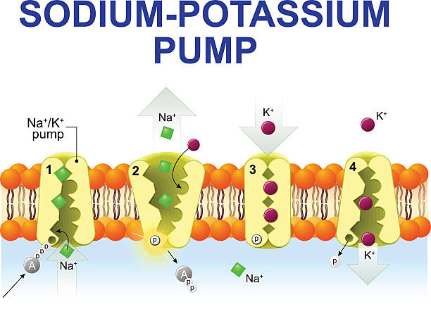 stockillustraties, clipart, cartoons en iconen met sodium-potassium pump - kalium