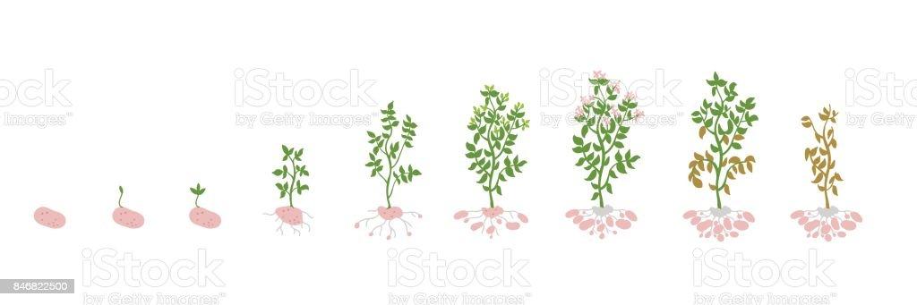 Solanum tuberosum patata ilustración Vector plantas. Determinación de la biología de las etapas de crecimiento - ilustración de arte vectorial