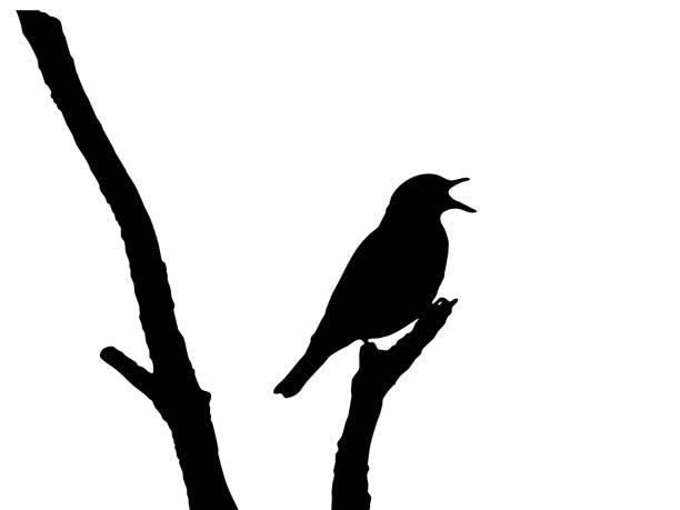 ilustrações de stock, clip art, desenhos animados e ícones de song thrush vector - song thrush
