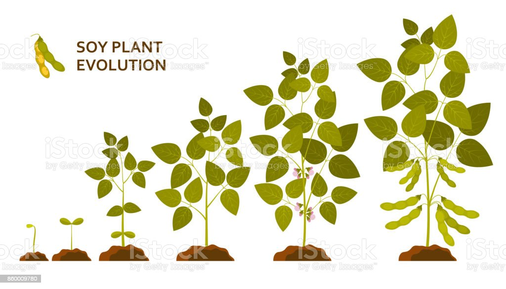 Soy plant evolution with leaves, flowers and pods vector art illustration