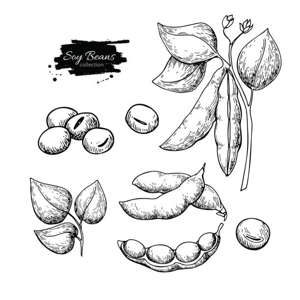 soybean hand drawn vector illustration. isolated vegetable engraved style object. - plant pod stock illustrations