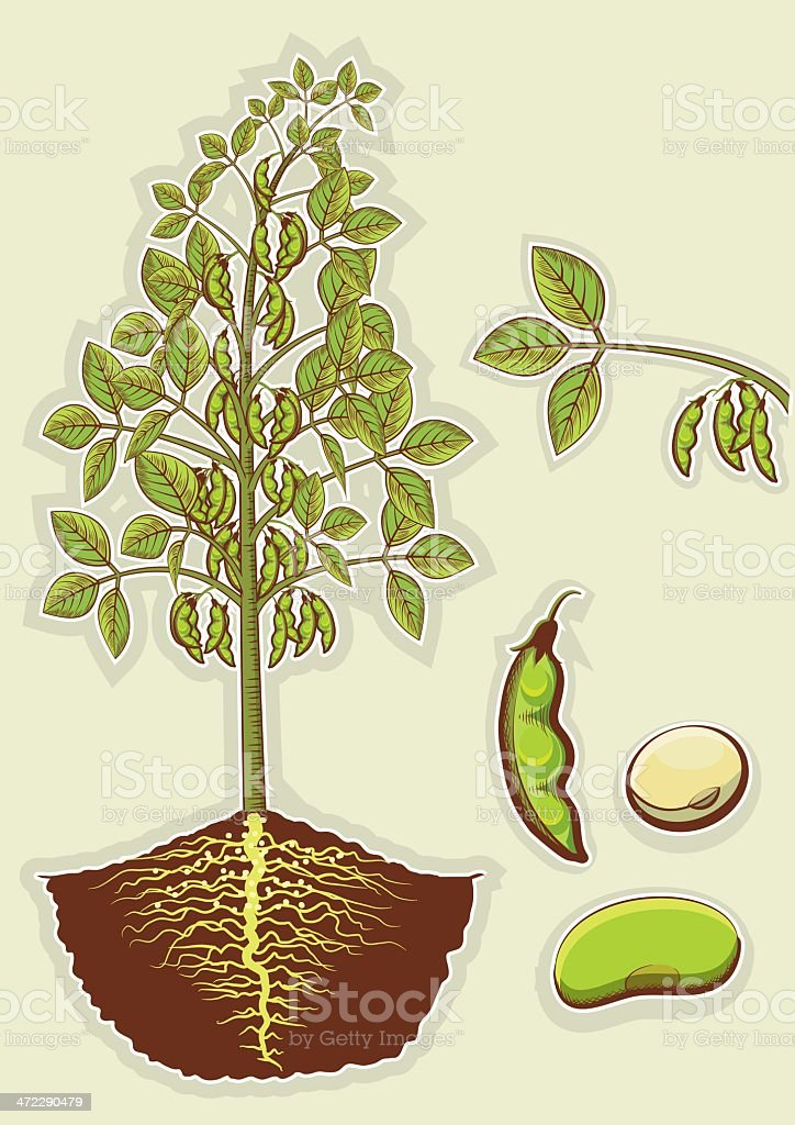 Soybean plant royalty-free stock vector art