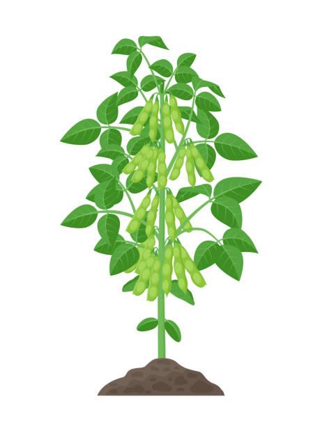 大豆工場ベクトル イラスト白背景に分離されました。フラット デザインの緑色のさやと葉土壌で成長の大豆。 - 枝豆点のイラスト素材/クリップアート素材/マンガ素材/アイコン素材