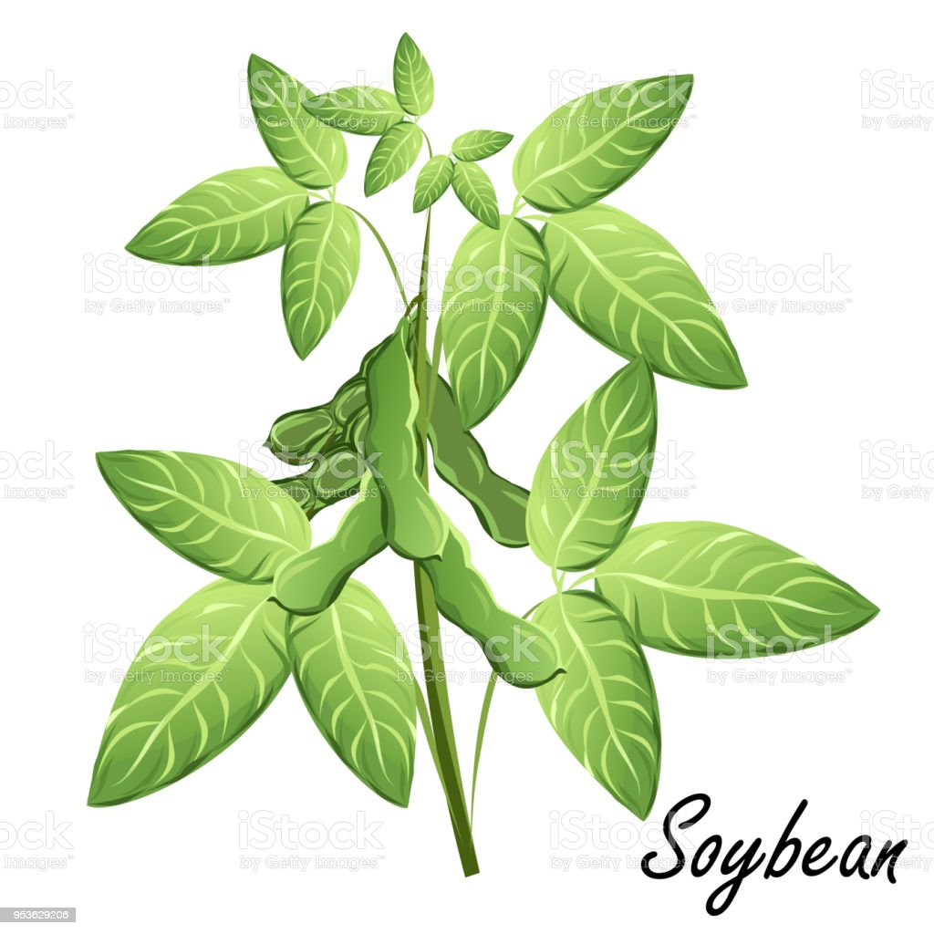 Soybean Plant With Bean Pods Vector Illustration Stock ...