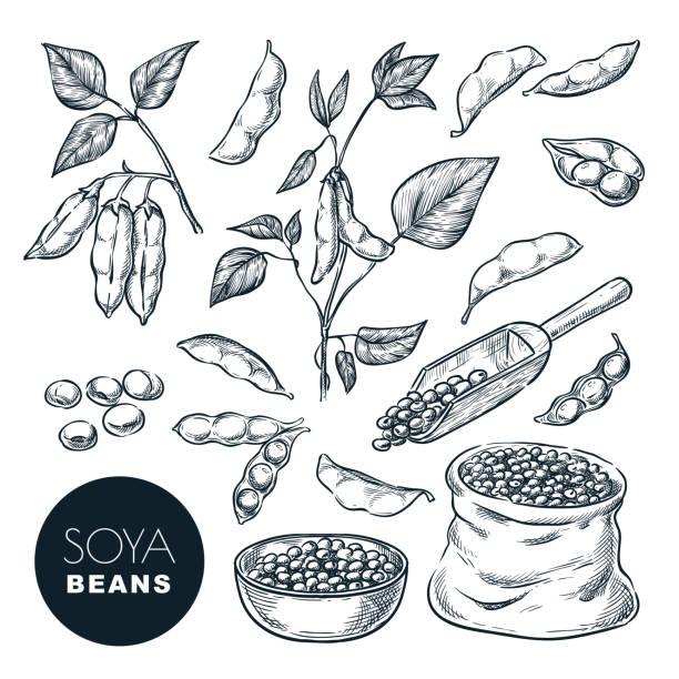 大豆スケッチベクトルイラスト。宗谷豆、緑の植物のポッド、袋の種子。手描きの孤立した設計要素 - 枝豆点のイラスト素材/クリップアート素材/マンガ素材/アイコン素材