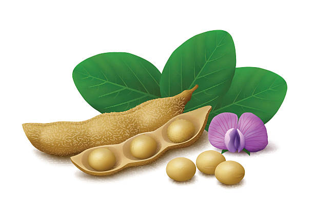 soybeans isolated on white background - plant pod stock illustrations