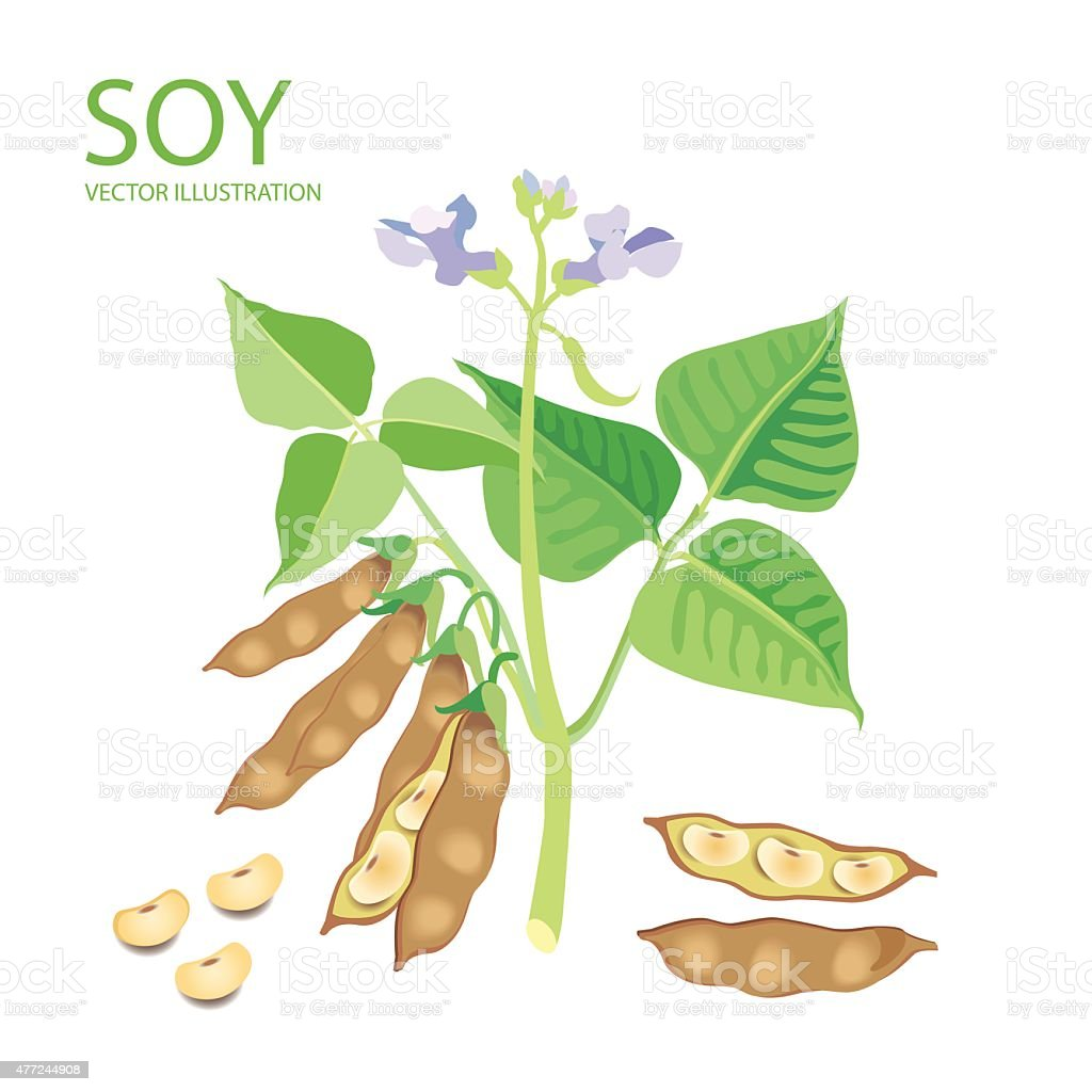 Soybeans. Vector Illustrations Set On A White Background. vector art illustration