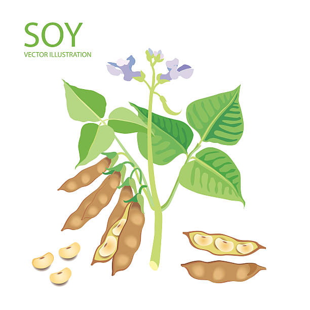 Royalty Free Soybean Clip Art, Vector Images ...