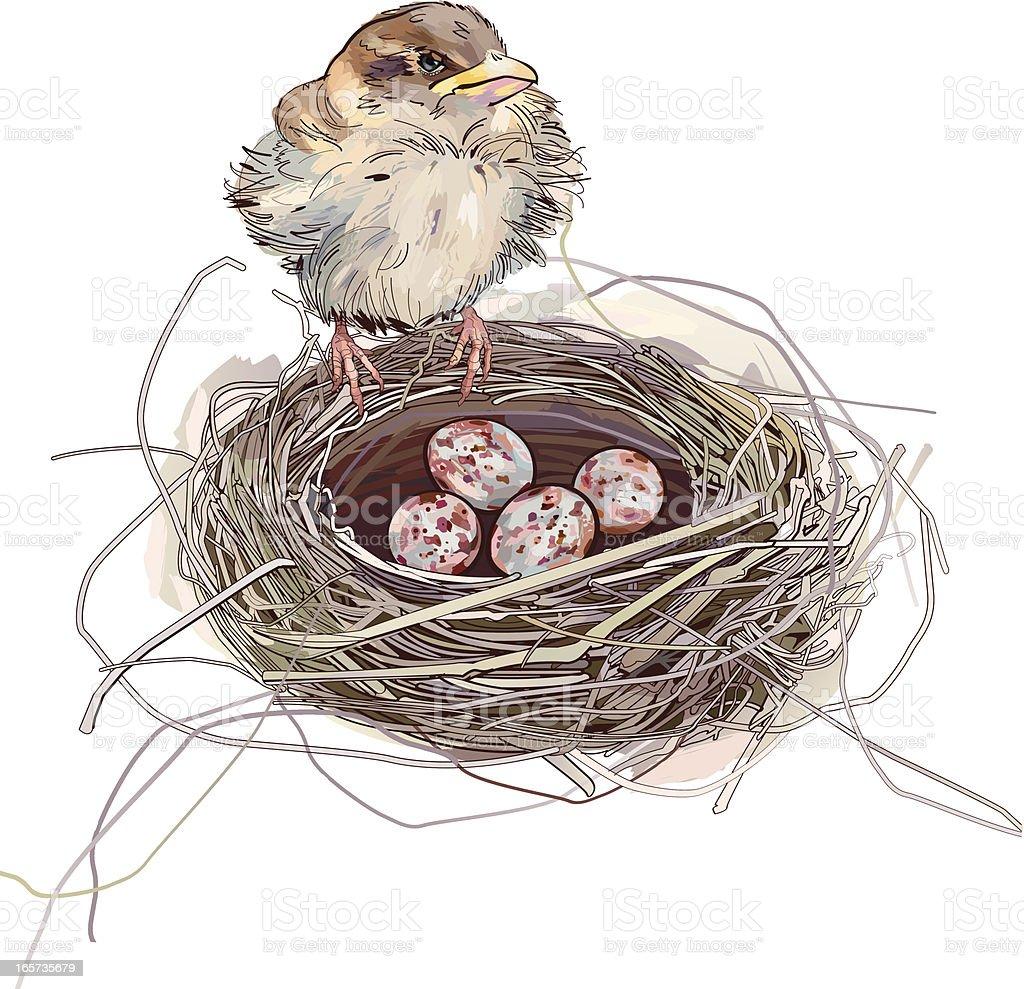 Sparrow and eggs vector art illustration
