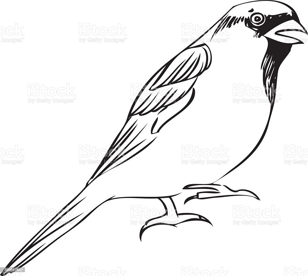 Vector Line Art Animals : Sparrow line art stock vector more images of animal