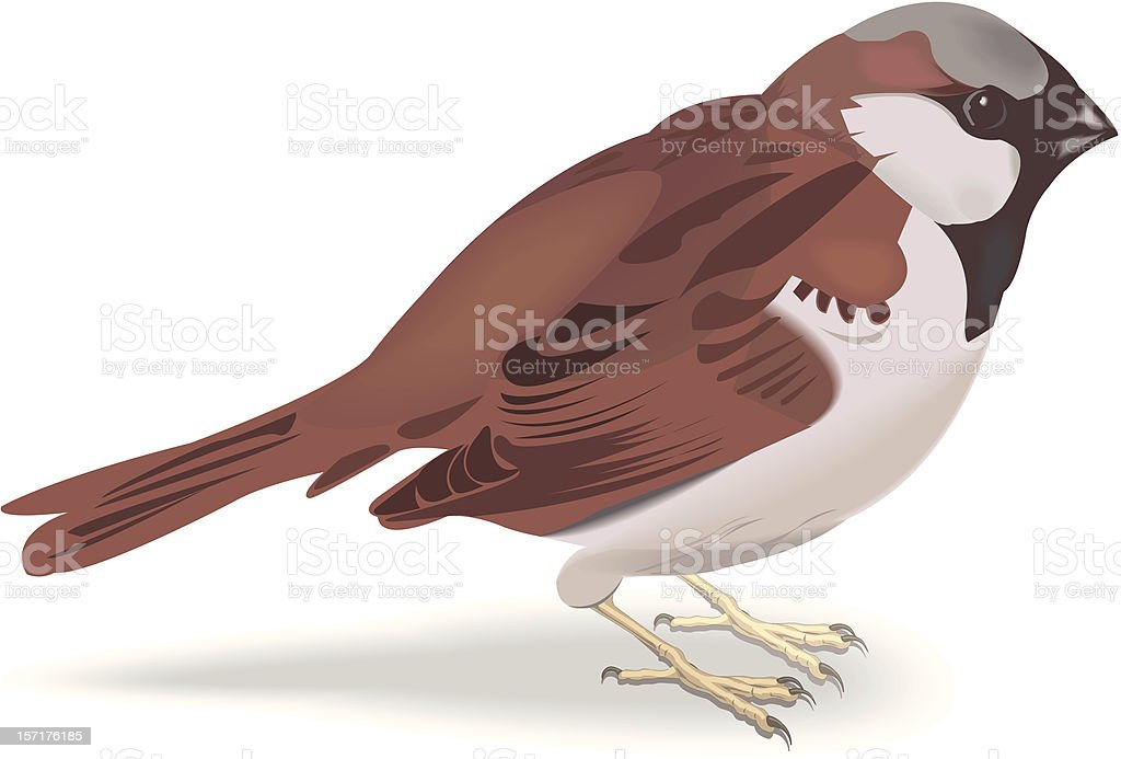 sparrow vector art illustration