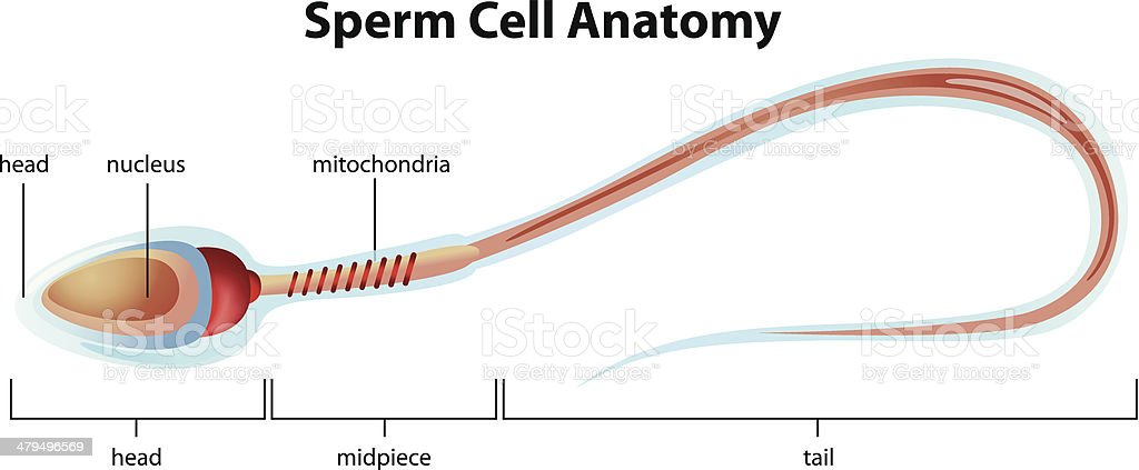 Sperm Cell Structure Stock Vector Art & More Images of Acrosome ...