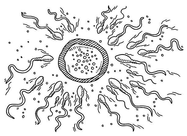 duddon eizelle. beginn des lebens zeichnung - eizelle stock-grafiken, -clipart, -cartoons und -symbole