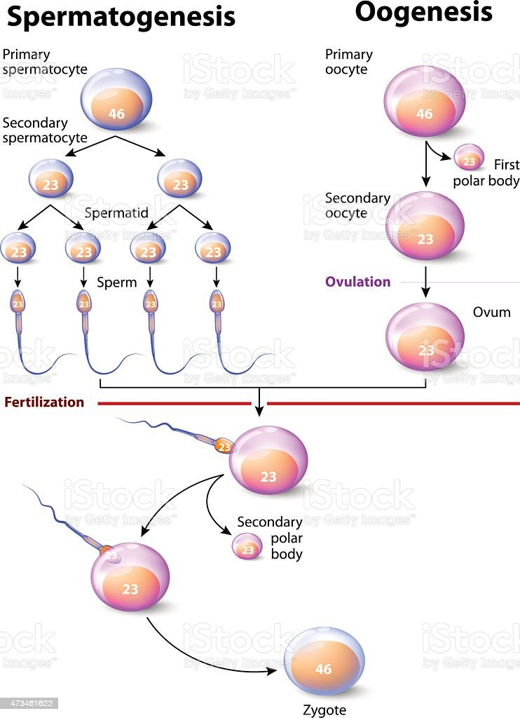 Spermatogenesis and Oogenesis vector art illustration