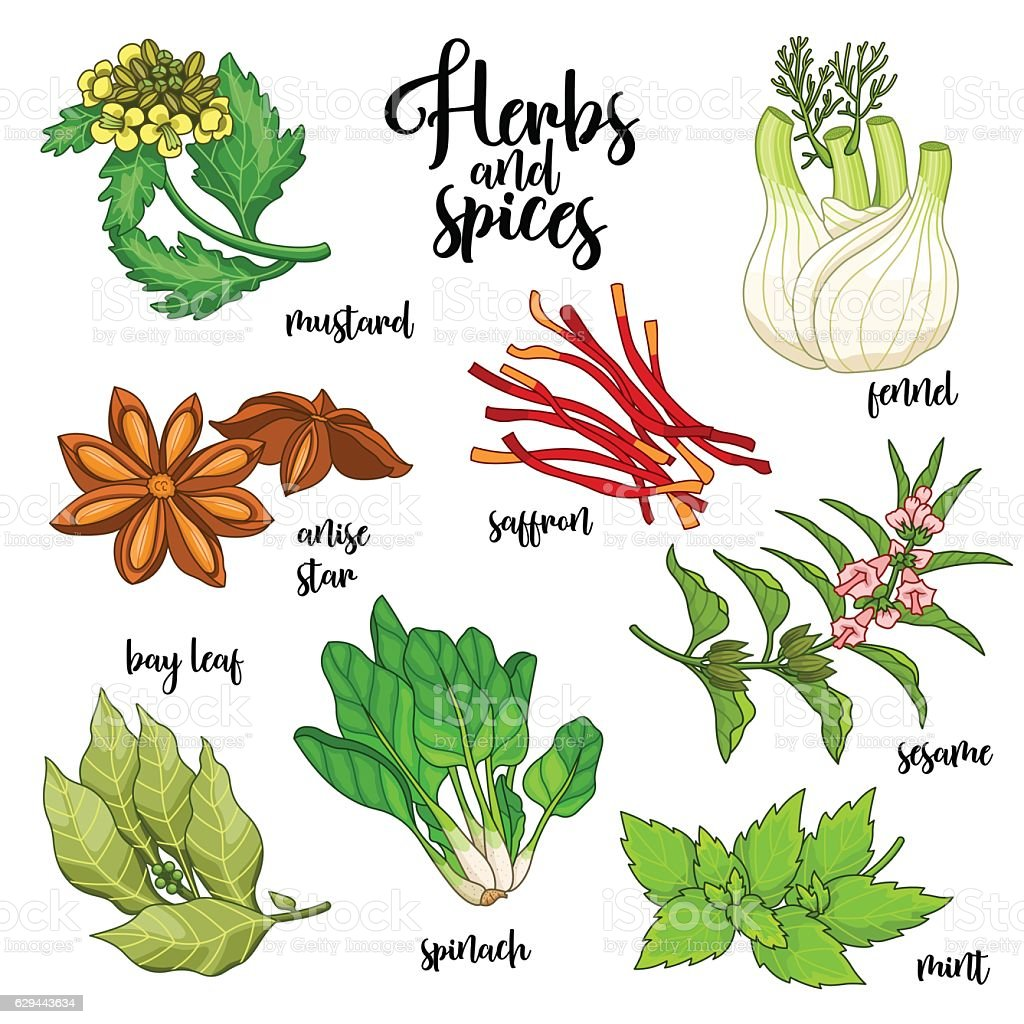 Spices and herbs vector set. Colored on white vector art illustration