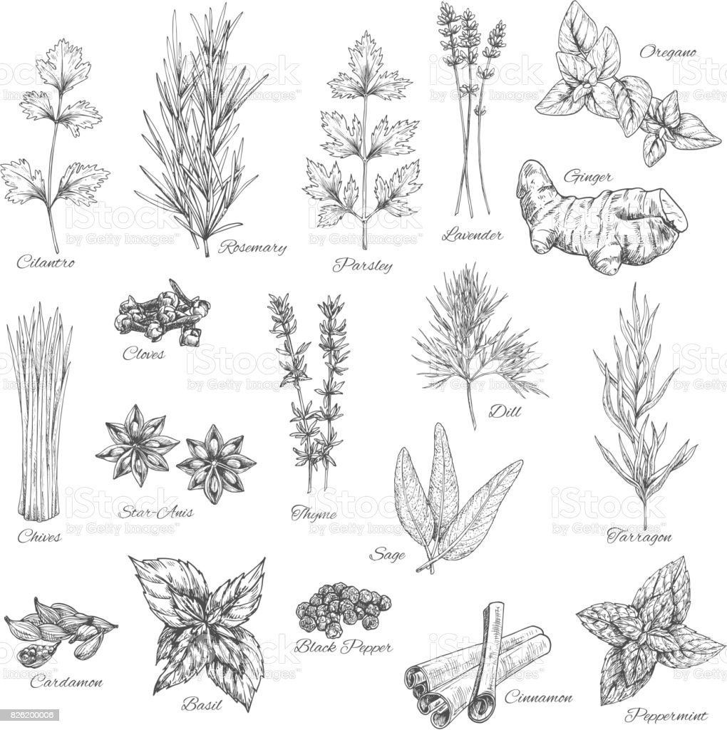 Spices and herbs vector sketch icons vector art illustration