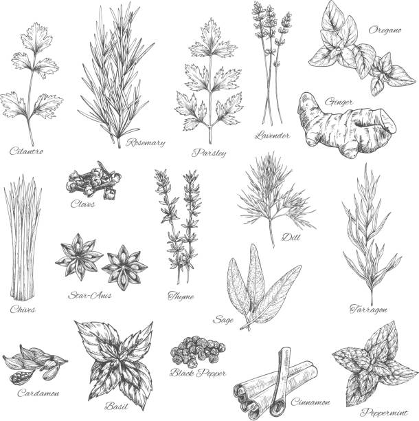 Spices and herbs vector sketch icons Herbs and spices vector cilantro, rosemary, parsley and lavender, ginger, oregano and cloves, chives, anise, dill, tarragon, sage and cardamom, basil and pepper, cinnamon and peppermint sketch lavender plant stock illustrations