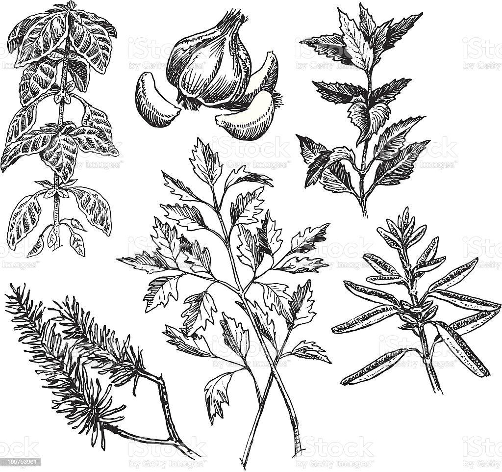 Spices, Mint, Garlic, Parsley, Rosemary, Basil, Sage vector art illustration