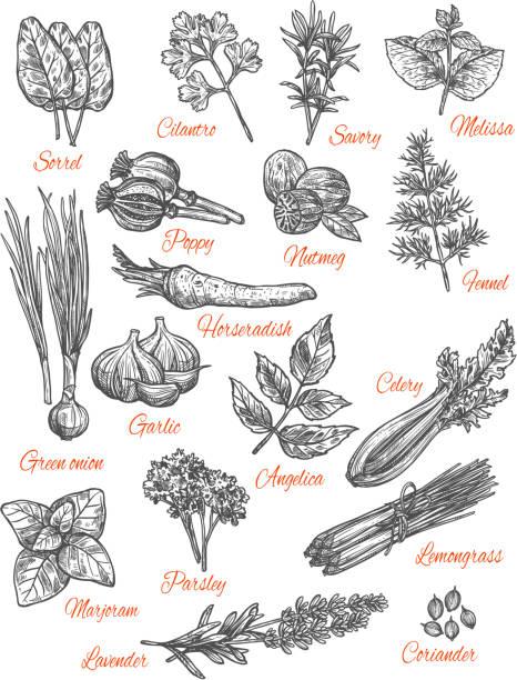 illustrazioni stock, clip art, cartoni animati e icone di tendenza di spices store vector sketch icons of herbs - aglio cipolla isolated