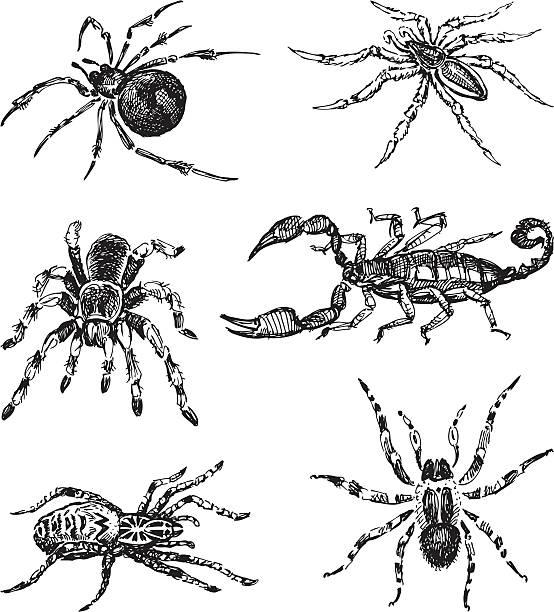 spiders - tarantula stock illustrations