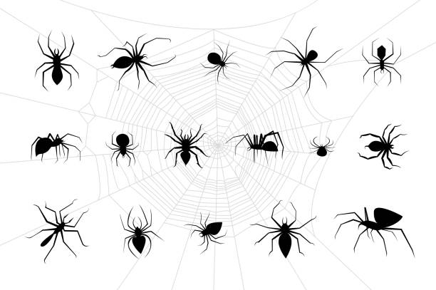 spiders vector set - tarantula stock illustrations