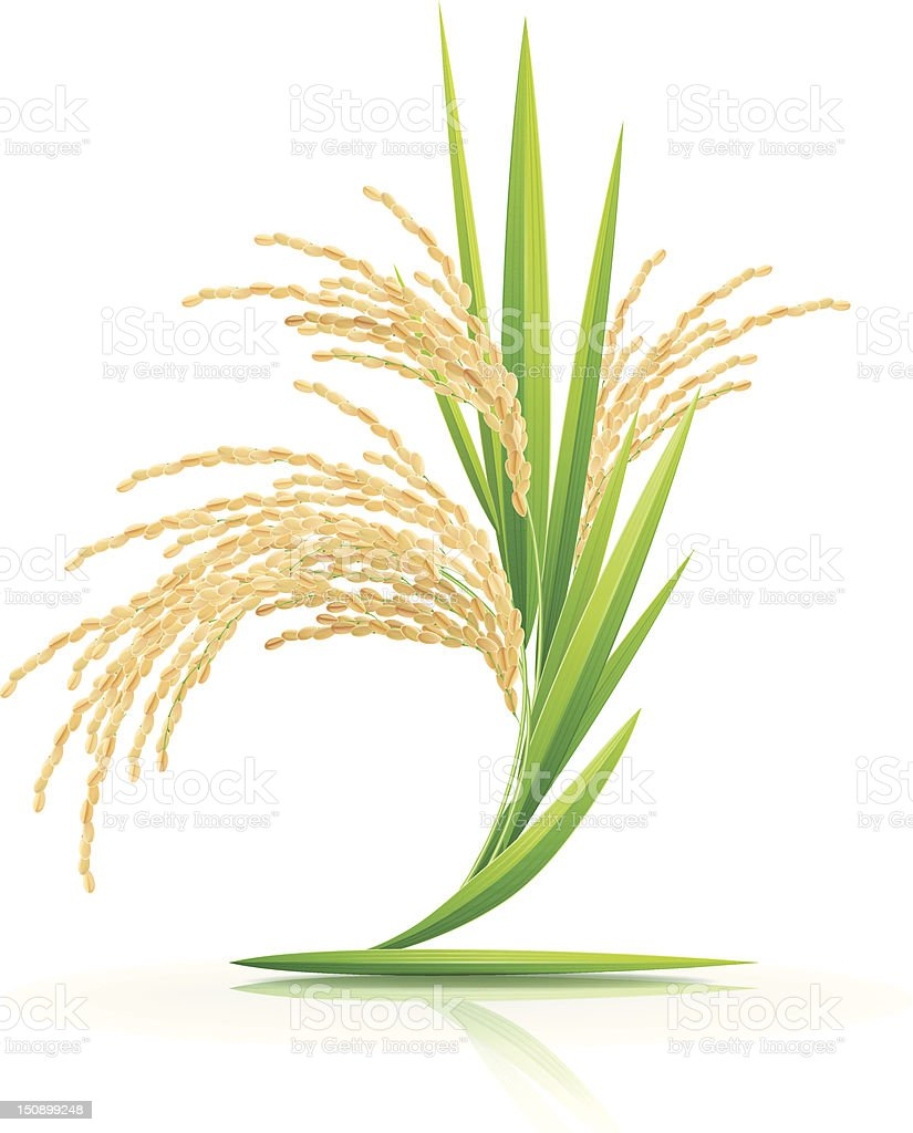 Spikelet of rice on a white background. vector art illustration