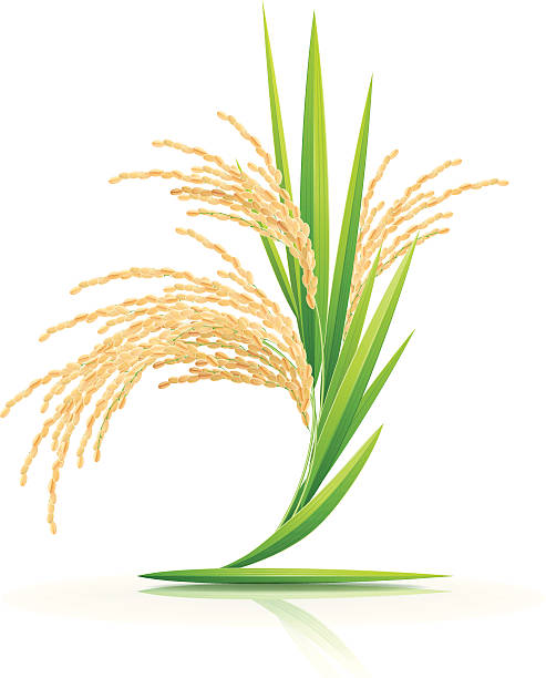 Best Rice Plant Illustrations, Royalty-Free Vector ...