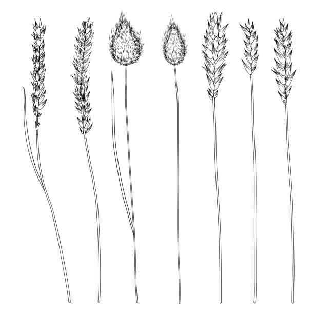 Spikelets, ear of rye, spike of triticale hand drawn vector sketch isolated on white, herbal graphic set for design package product, medicine, wedding invite, greeting card, cosmetic, bakery shop vector art illustration