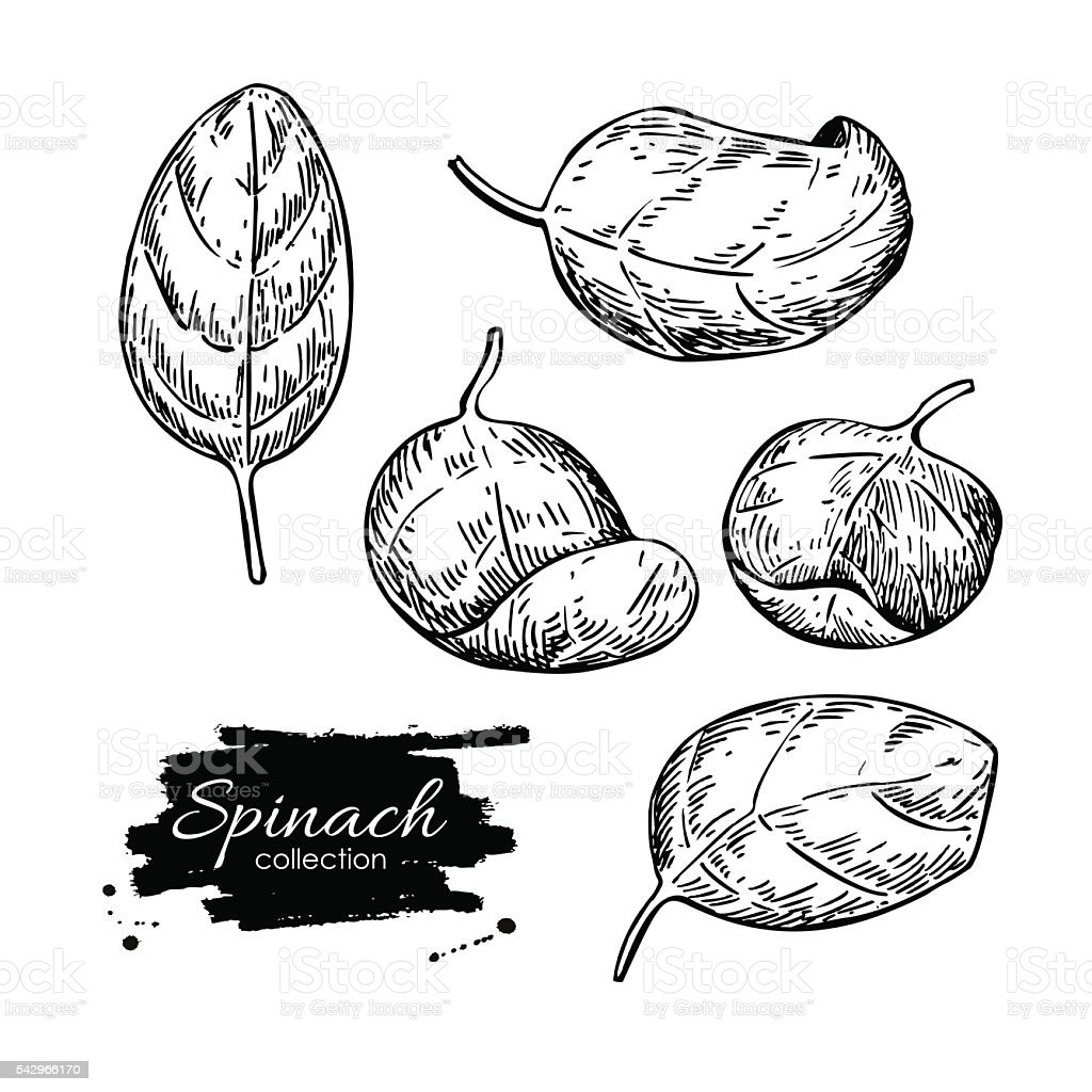 Spinach leaves hand drawn vector set. Isolated Spinach leaves dr vector art illustration
