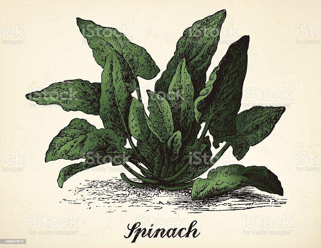 Spinach vintage illustration vector vector art illustration