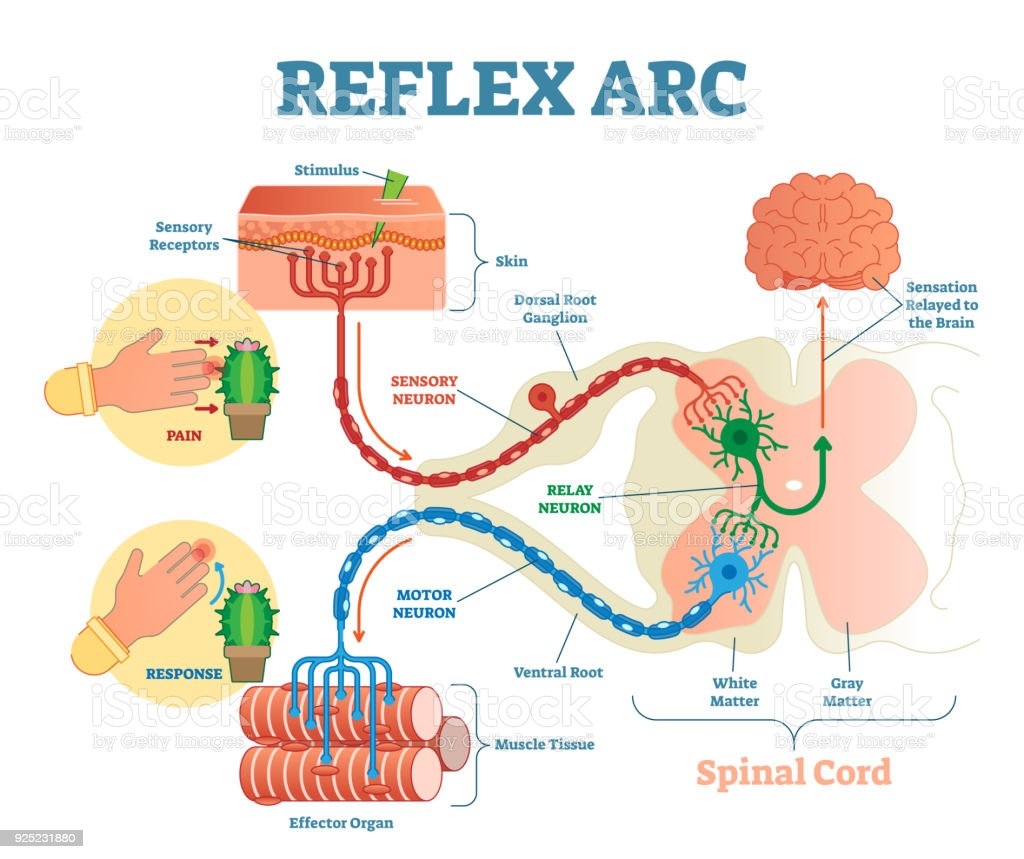 Spinal Reflex Arc Anatomical Scheme Vector Illustration With Spinal ...