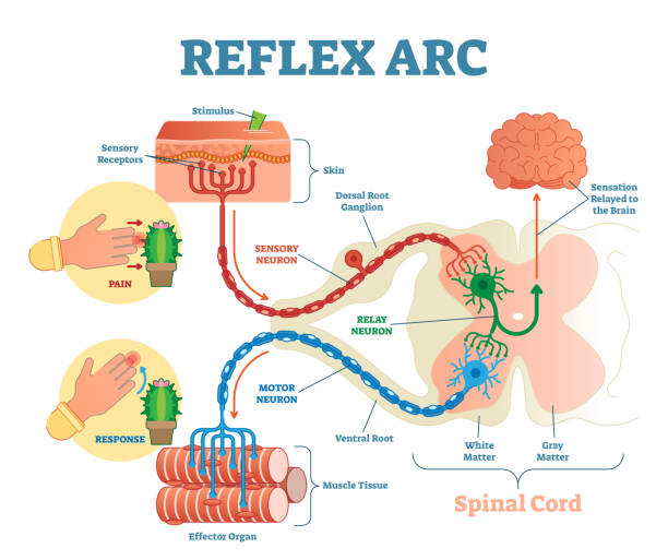 Spinal Reflex Arc anatomical scheme, vector illustration, with spinal cord, stimulus pathway to the sensory neuron, relay neuron, motor neuron and muscle tissue. Spinal Reflex Arc anatomical scheme, vector illustration, with spinal cord, stimulus pathway to the sensory neuron, relay neuron, motor neuron and muscle tissue. Educational diagram. nerve fiber stock illustrations