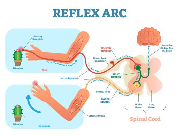 spinaler reflexbogen anatomische schema, vektor-illustration mit rückenmark, reiz weg zur sensorischen neuron, relais neuron, motoneuron und muskelgewebe. - sensorischer impuls stock-grafiken, -clipart, -cartoons und -symbole