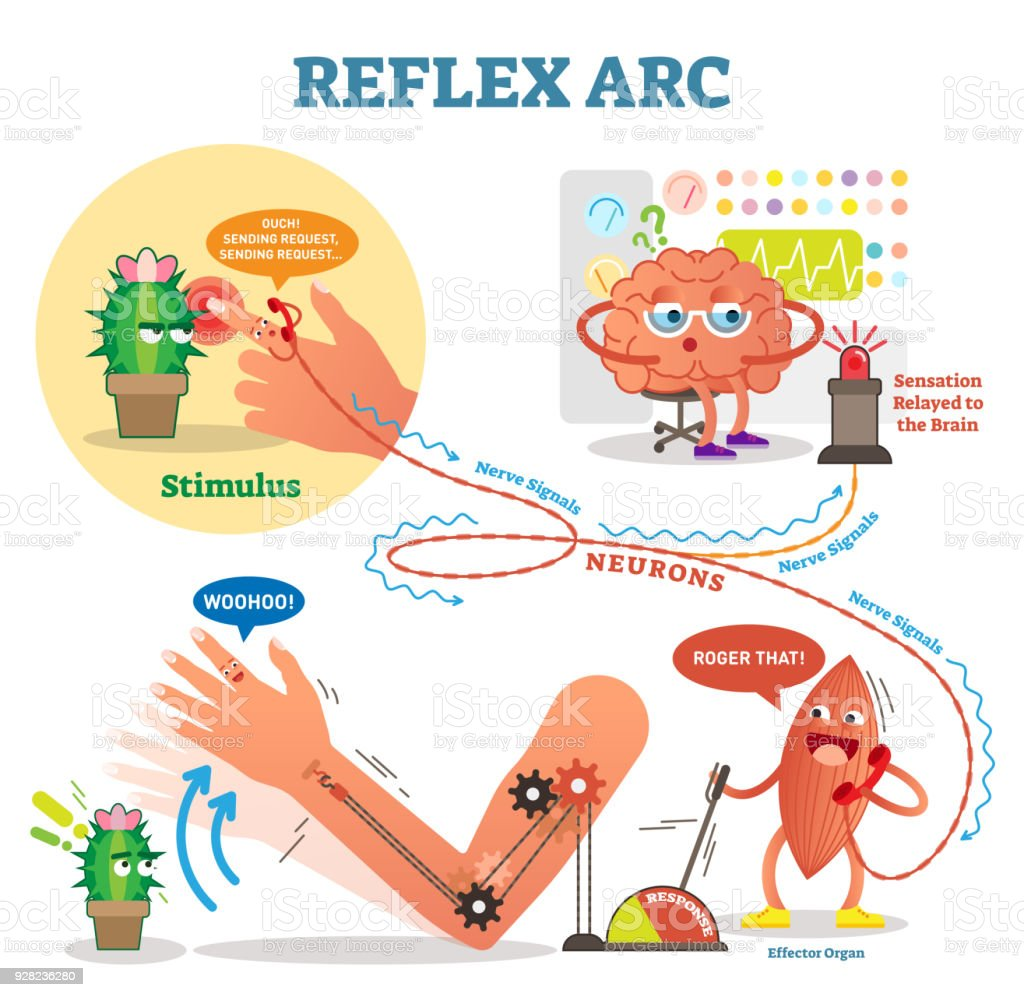 Spinal reflex arc scheme vector illustration with stimulus pathway spinal reflex arc scheme vector illustration with stimulus pathway through the nerve signals and ccuart Choice Image