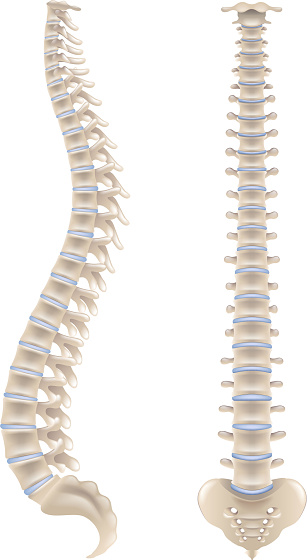 Spine bones isolated on white vector