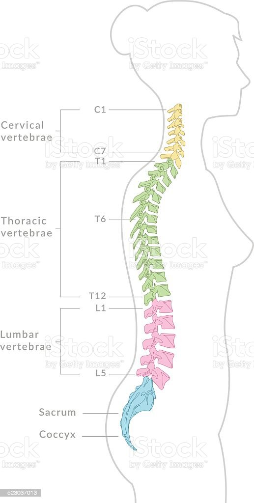 Spine Diagram Stock Vector Art More Images Of Anatomy 523037013