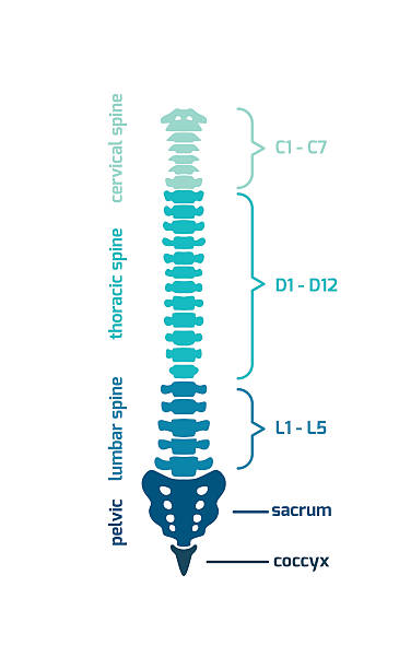 Royalty Free Human Spine Clip Art, Vector Images & Illustrations ...