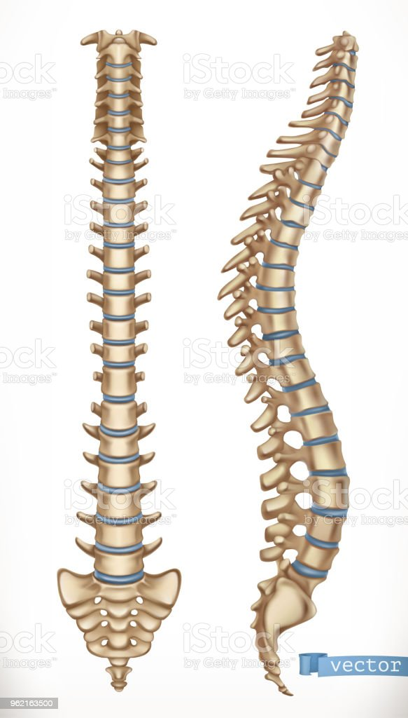 Spine Structure Front And Side View Human Skeleton Medicine 3d