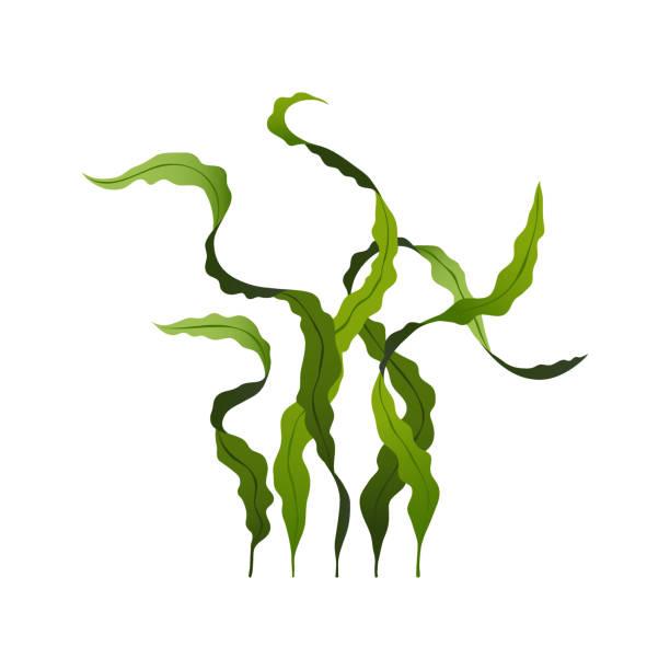 spirulina algen gesunde nahrung, unterwasseralgen isoliert auf weißem hintergrund, vektor-illustration - algen stock-grafiken, -clipart, -cartoons und -symbole