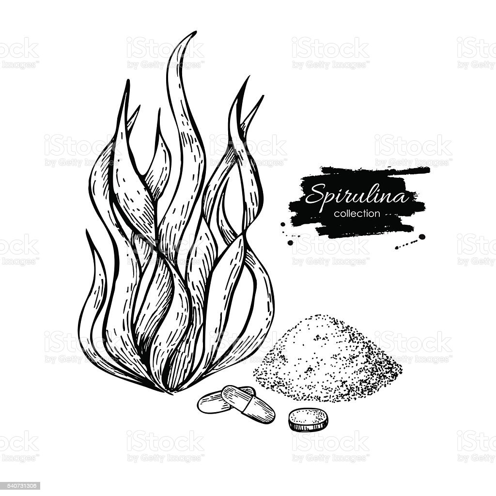 Algas Espirulina polvo vector dibujado a mano. Aislado Espirulina - ilustración de arte vectorial