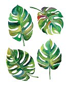 Split Leaf Philodendron  watercolor on white background vector
