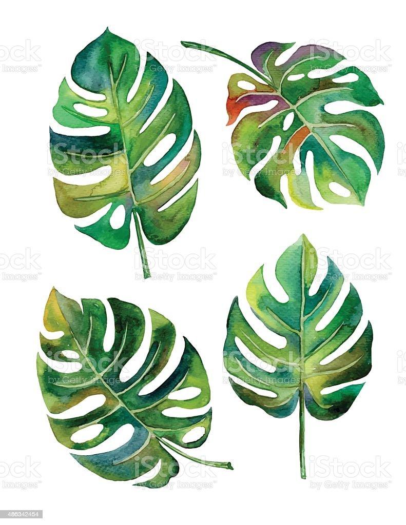 Filodendro acuarela de dos hojas sobre fondo blanco vector - ilustración de arte vectorial