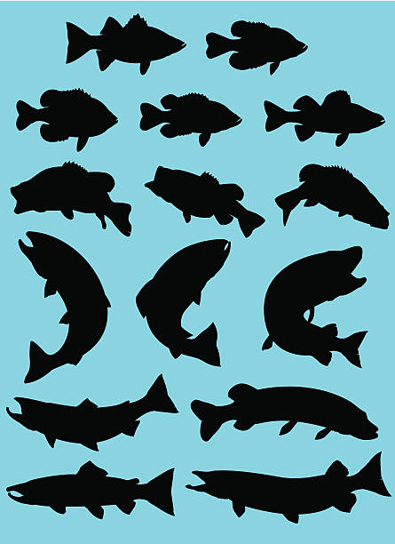 Sport Fish Silhouette silhouette set of popular sport fish and pan fish found in North America. Fully editable vector file.  freshwater fish stock illustrations