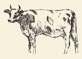 Spotted cow dutch cattle breed hand drawn sketch