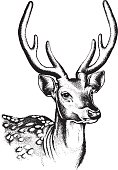 Spotted Deer Illustration