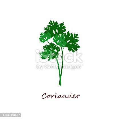 Sprig of coriander. Green leaves, parsley, plant. Cooking herbs concept. Vector illustration can be used for topics like food, seasoning, salad