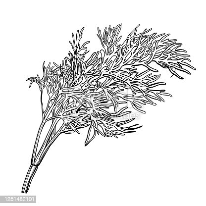 istock A sprig of dill isolated on a white background. Herbes de Provence.Fennel. Flavorful seasonings and spices. Hand drawn vector illustration 1251482101