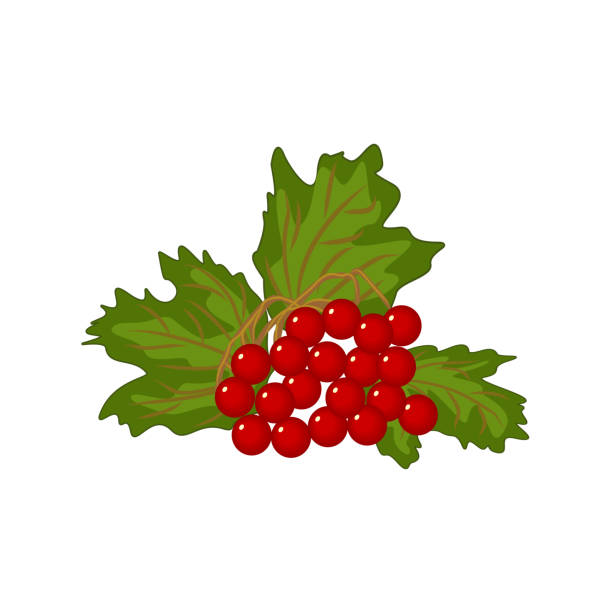 Sprig of viburnum opulus with foliage and ripe fruits vector art illustration