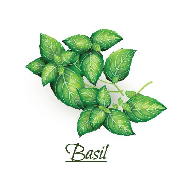 Sprigs of fresh delicious basil in realistic style vector art illustration